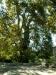 Více než 400 let starý platan (platanus)