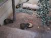 Aguti černohřbetý