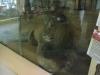 Lev berberský