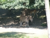 Zebra Chapmannova