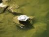 Želva v hradním příkopu